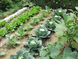 Growing a Vegetable Garden 2