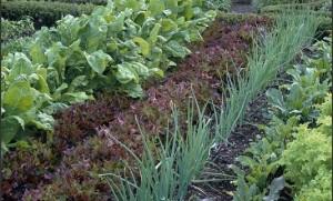 Growing a Vegetable Garden 3