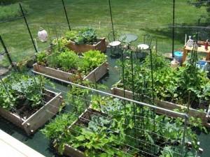 Growing a Vegetable Garden 4