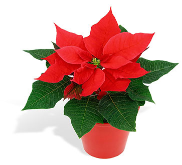 A Little History on the Poinsettia