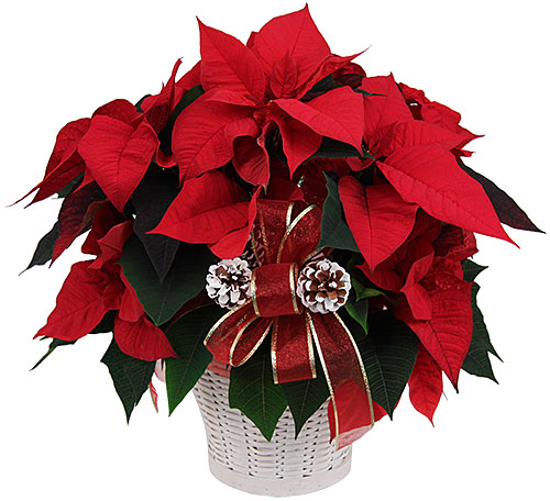 a little history on the poinsettia – global gardens gifts